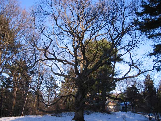 Planting An Oak Tree Best Time : And cabling a white oak tree in nova scotia arbor plant health care