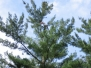 Tree Cutting Services in Halifax to Reduce a White Pine