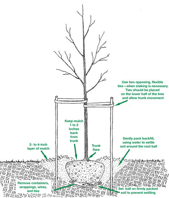 Planting A Tree Arbor Plant Health Care